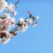 春に向けて頑張る桜